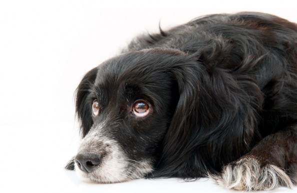 Meg's vet has advised a hip replacement may be necessary. What should her owners do?